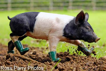 20140811-pig-in-boots